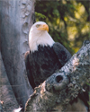 Eagle in a birch tree, Lake Colby